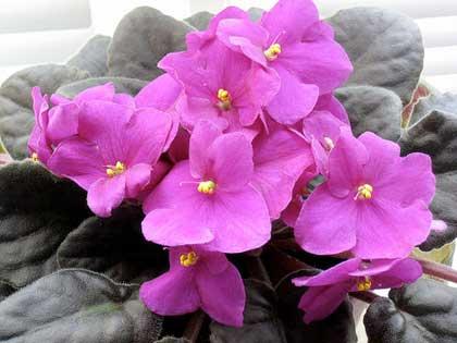 Violetta africana il rimedio naturale contro l impotenza for Violetta africana